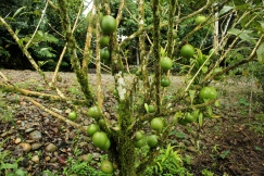 A tree called Cuyapilche in Quichua, or Calabasa in Spanish. According to traditional medicine, the pit from the fruit of this tree can cure Dengue. (Photo: KB)