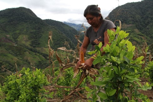 Nancy harvests corn alongside coca, in her one hectare area of land, just outside of the town of Madrigal.