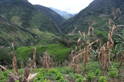 A view of coca crops spread across the valley, from Nancy's house.